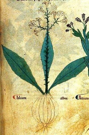 Flos Florum